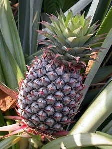 Most Expensive Pineapple: $16,000